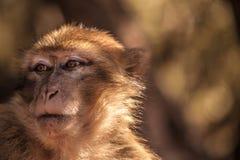 Macaco de Morocan Imagens de Stock