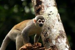 Macaco de observação Foto de Stock Royalty Free