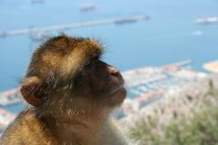 Macaco de pensamento Fotos de Stock Royalty Free