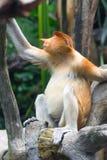 Macaco de probóscide Fotografia de Stock Royalty Free
