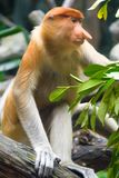 Macaco de probóscide Fotografia de Stock