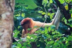 Macaco de probóscide adormecido no parque nacional de Bako, Bornéu, Malásia fotos de stock royalty free