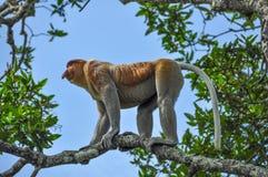 Macaco de probóscide em Bornéu fotos de stock royalty free