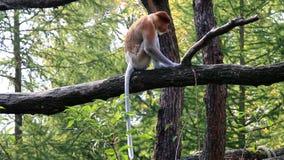 Macaco de probóscide espiando e de passeio filme