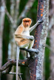 Macaco de probóscide na árvore imagens de stock