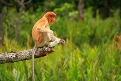 Macaco de probóscide novo que senta-se em uma árvore, Bornéu foto de stock