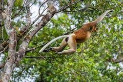 Macaco de probóscide que salta em uma árvore Foto de Stock Royalty Free