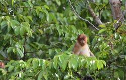 Macaco de probóscide que senta-se em uma árvore na floresta úmida verde selvagem na ilha de Bornéu Imagem de Stock Royalty Free