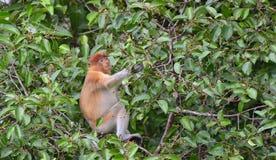Macaco de probóscide que senta-se em uma árvore na floresta úmida verde selvagem na ilha de Bornéu Foto de Stock