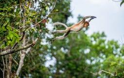 Macaco de probóscide de salto Imagens de Stock