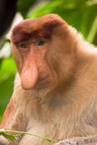 Macaco de Proboscis Imagens de Stock