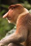 Macaco de Proboscis Imagem de Stock Royalty Free