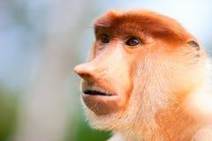 Macaco de Proboscis fotografia de stock royalty free