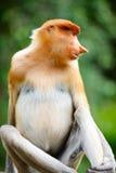 Macaco de Proboscis foto de stock