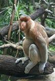 Macaco de Proboscis de Bornéu fotografia de stock royalty free
