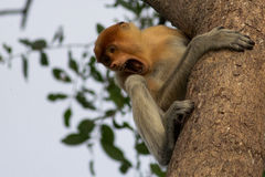 Macaco de probóscide Imagens de Stock