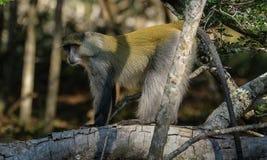 Macaco de Samango Fotografia de Stock
