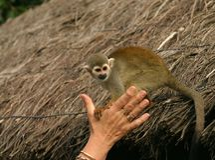 Macaco de Squirell Imagem de Stock Royalty Free