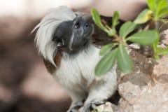 Macaco de Titi imagem de stock