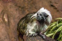 macaco de titi da Algodão-parte superior fotografia de stock