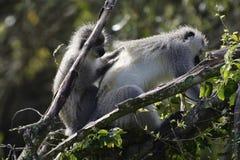 Macaco de Vervet, África do Sul Foto de Stock