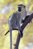 Macaco de Vervet Imagens de Stock Royalty Free