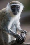 Macaco de Vervet Fotos de Stock Royalty Free
