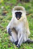 Macaco de Vervet Imagem de Stock Royalty Free