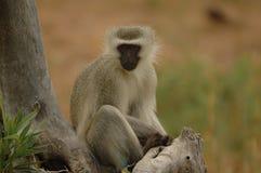 Macaco de Vervet Foto de Stock
