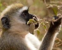 Macaco de Vervet Fotografia de Stock Royalty Free
