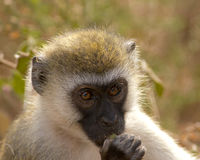 Macaco de Vervet Foto de Stock Royalty Free