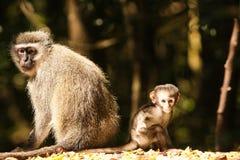 Macaco de Vervet Fotos de Stock
