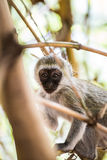 Macaco de vervet adorável do bebê que joga em uma árvore no parque nacional de Amboseli (Kenya) Imagens de Stock
