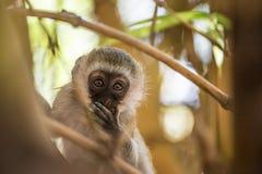 Macaco de vervet adorável do bebê que joga em uma árvore no parque nacional de Amboseli (Kenya) Imagem de Stock