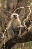 Macaco de Vervet com bebê Foto de Stock Royalty Free