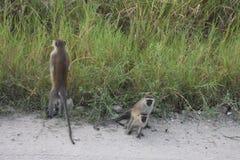 Macaco de vervet enfrentado preto que parece urinar, uganda foto de stock royalty free
