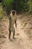 Macaco de vervet ereto Imagens de Stock Royalty Free