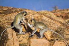 Macaco de Vervet no parque nacional de Kruger, África do Sul Foto de Stock Royalty Free