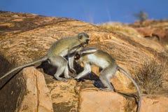 Macaco de Vervet no parque nacional de Kruger, África do Sul Fotografia de Stock