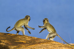 Macaco de Vervet no parque nacional de Kruger, África do Sul Imagem de Stock Royalty Free
