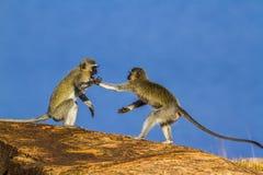 Macaco de Vervet no parque nacional de Kruger, África do Sul Imagens de Stock