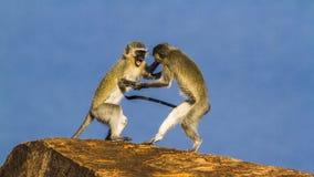 Macaco de Vervet no parque nacional de Kruger, África do Sul Fotos de Stock