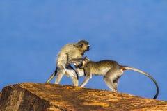 Macaco de Vervet no parque nacional de Kruger, África do Sul Imagens de Stock Royalty Free