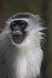 Macaco de Vervet (pygerythrus de Chlorocebus) Imagens de Stock Royalty Free