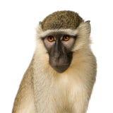 Macaco de Vervet - pygerythrus de Chlorocebus Foto de Stock