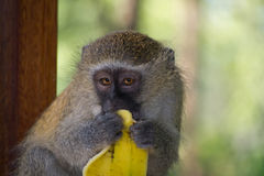Macaco de Vervet que come a banana Imagem de Stock