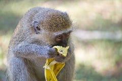 Macaco de Vervet que come a banana Imagens de Stock