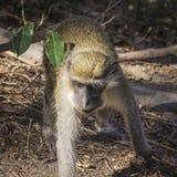 Macaco de vervet verde em Gâmbia, África ocidental imagens de stock