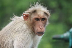 Macaco de vista ansioso imagem de stock