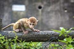 Macaco del reso del bambino a Kam Shan Country Park, Kowloon, Hong Kong fotografia stock